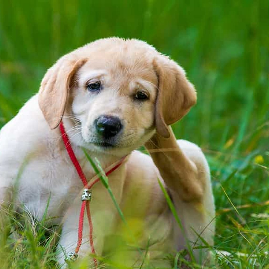 How to protect your dog from Tick and flea-min
