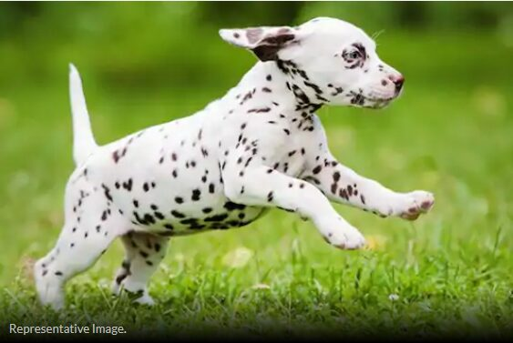 Animal Lover Rushes to Rescue 'Injured' Dalmatian.