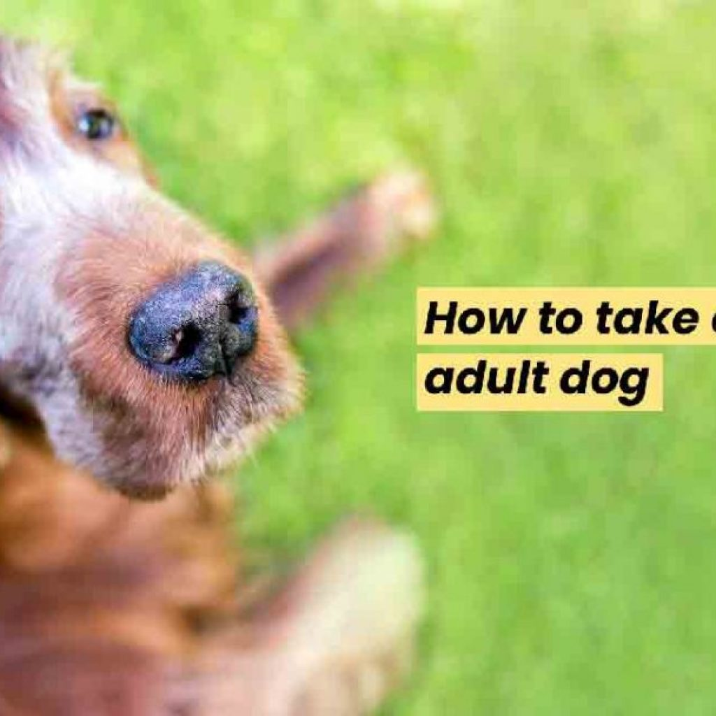 How to take care of adult dog