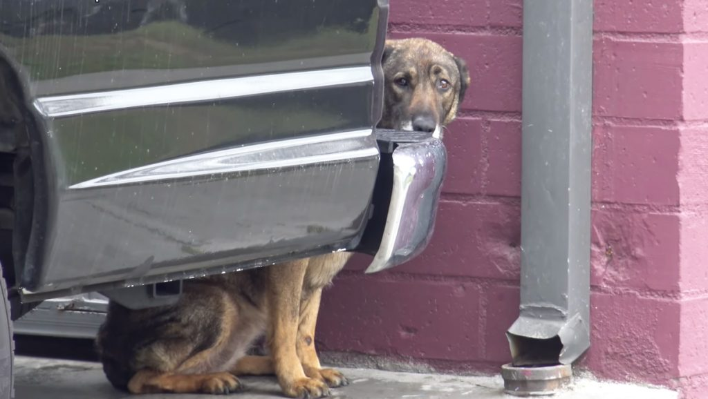 Homeless Dog Cried Like Human While Being Rescued